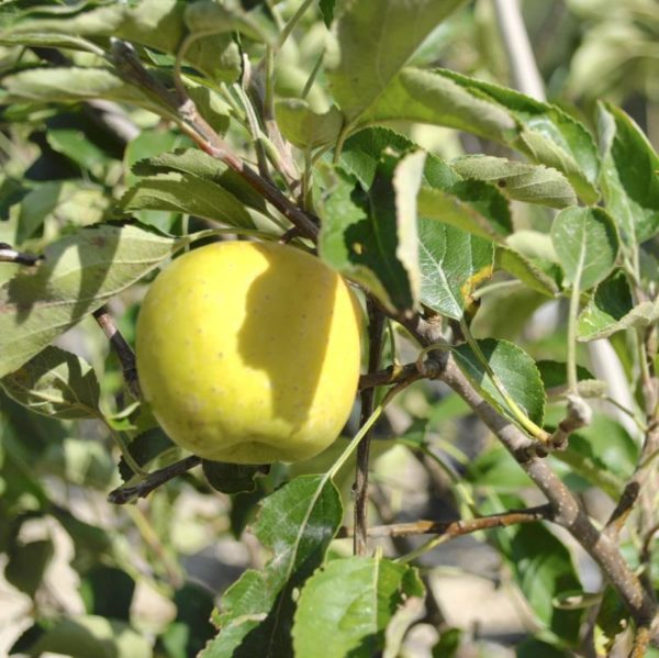 Яблоня Голден миллениум