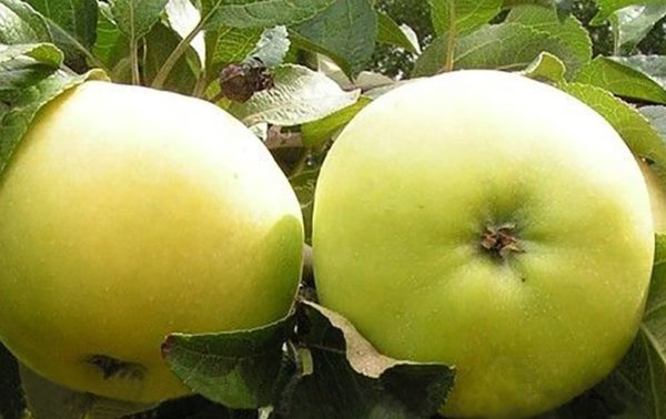 Яблоня Коштеля