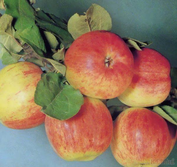 Яблоня Осеннее полосатое (Штрейфлинг, Штрифель)