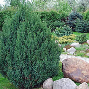 JUNIPERUS CHINENSIS STRICTА