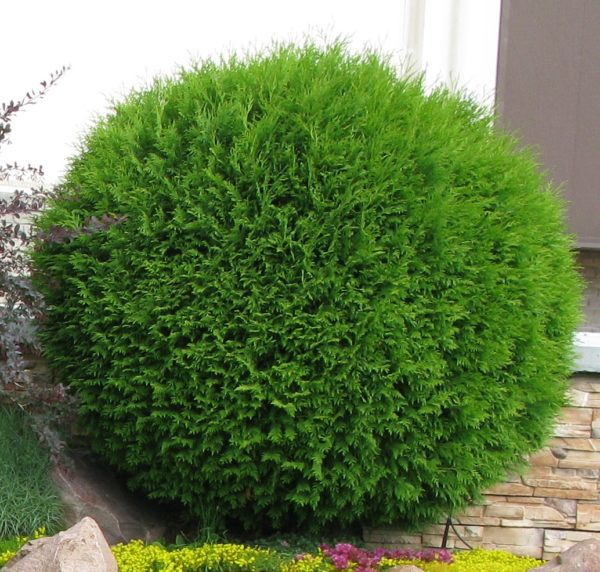 THUJA OCCIDENTALIS 'GLOBOSA'