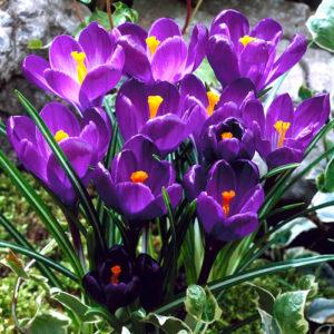 Крокусы крупноцветковые